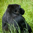 Stock Photo: Gorilla