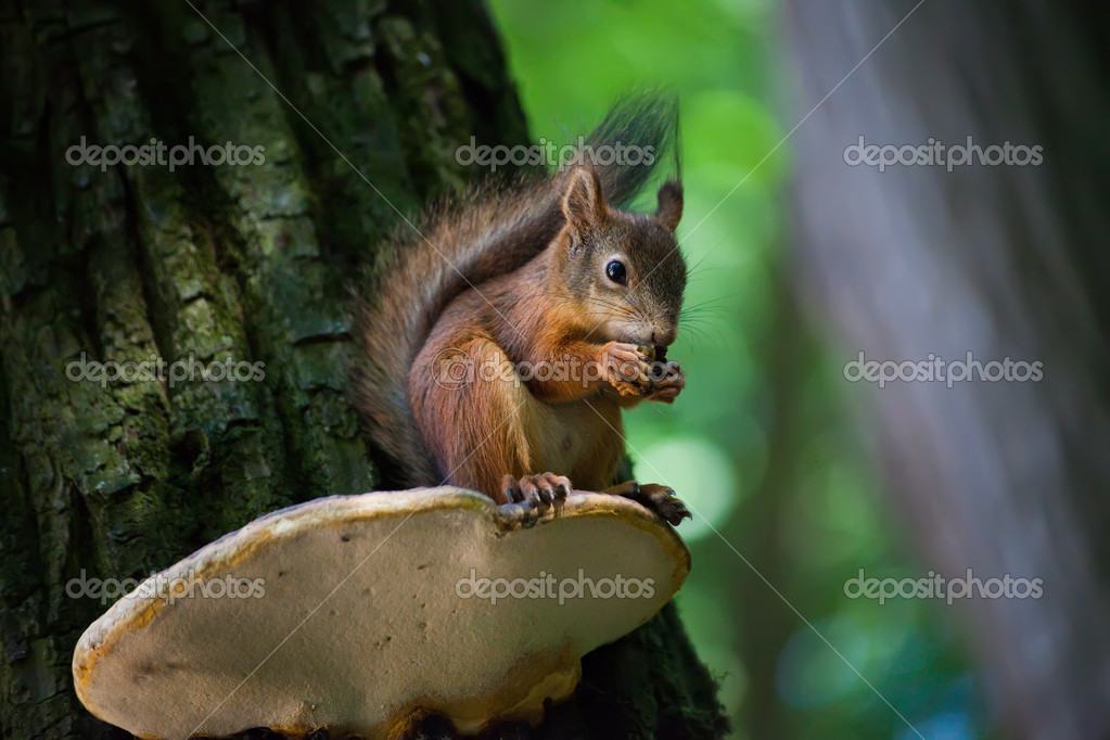 Squirrel sits on a wood mushroom and eats a nut — Stock Photo #1719097