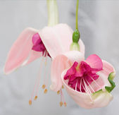 Fuchsias — Stock Photo