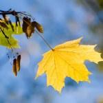 Yellow maple sheet — Stock Photo #1840966
