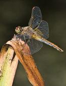 Dragonfly 2 — Stock Photo