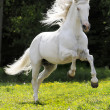 White horse running gallop — Stock Photo