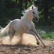 Stock Photo: White horse runs gallop in dust