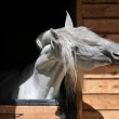 White horse stallion in the stable — Stock Photo
