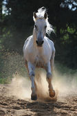 White horse runs gallop in dust — Stock Photo