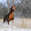 Royalty-Free Stock Photo: Bay horse in winter runs gallop