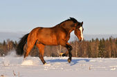 Bay horse in winter runs gallop — Stock Photo