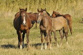Herd arabian horses whith foals — Stock Photo