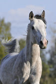 Gray arabian horse portrait in gallop — Stock Photo