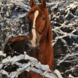 Stock Photo: Red horse in winter with snow