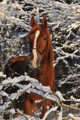 Red horse in winter with snow — Stock Photo