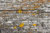 Wooden background with a yellow lichen — Stock Photo