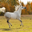Stock Photo: White horse run gallop on meadow