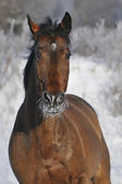Bay horse run gallop in winter — Stockfoto