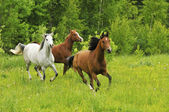 Horse Herd — Stock Photo