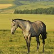 Akhal-teke horse — Stock Photo