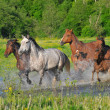 Stock Photo: Horses run on water