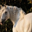 White horse portrait — Stock Photo