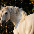 Stock Photo: White horse portrait