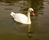 Cigno bianco, nuoto nel lago — Foto Stock
