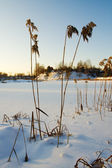 Winter, sunset, reed — Stock Photo