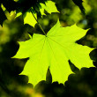 Stock Photo: Maple leave, backlit