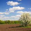 Stock Photo: Blossoming tree,arable land