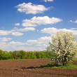 Blossoming tree,arable land — Stock Photo
