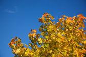 Autumnal maple — Stock Photo