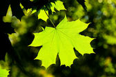 Maple leave, backlit — Stock Photo