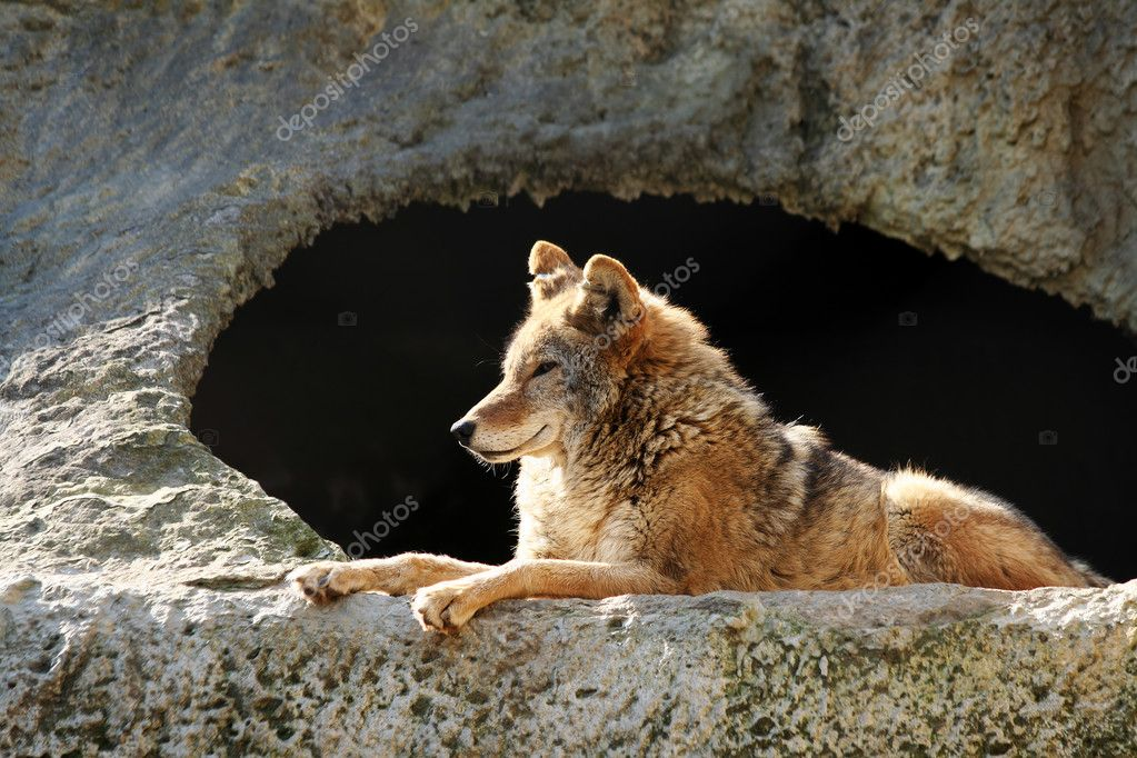 The wolf brightly shined by the sun lays near a cave — Stock Photo #1731048