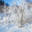 Stock Photo: Bushes covered by hoarfrost