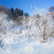 Stock Photo: Bushes covered by hoarfrost. Landscape.