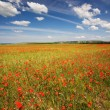Spring field of red poppies — Stock Photo