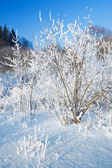 Bushes covered by hoarfrost — Stock Photo