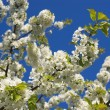 Stock Photo: Flowering cherry.