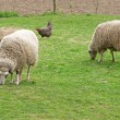 two sheeps — Stock Photo