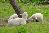 Lambs — Stock Photo
