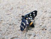 Black butterfly — Stok fotoğraf