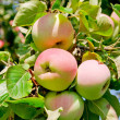 Apples on tree — Stock Photo #1904575