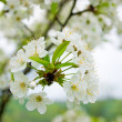 Apple blossoms — Stock Photo