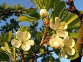 Blossoming plum — Stock Photo