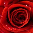 Royalty-Free Stock Photo: Close-up of red fresh rose