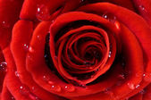Close-up of red fresh rose — Stock Photo