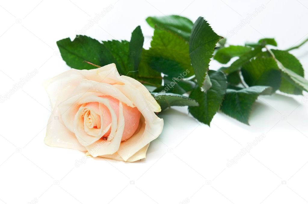 Beautiful rose on white background. Space for your text   Stock Photo #2027768