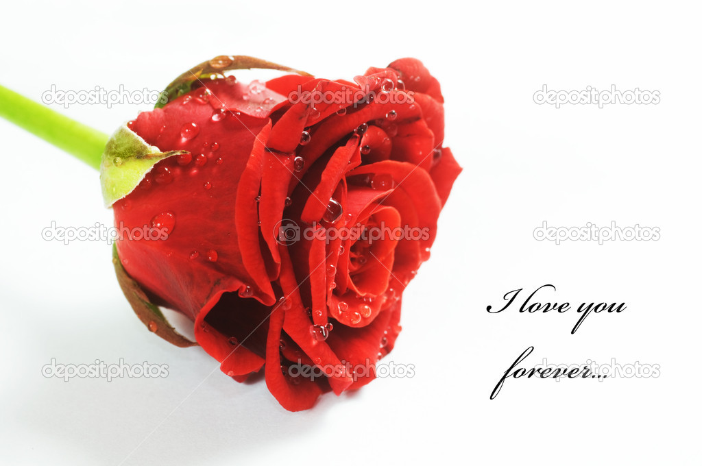 Red fresh rose with water droplets on white background. Space for your text  — Stock Photo #2027979