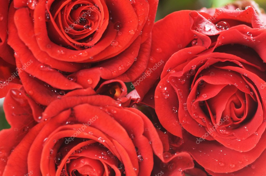 Close-up of red fresh roses with water droplets. Macro picture — Stock Photo #2028303