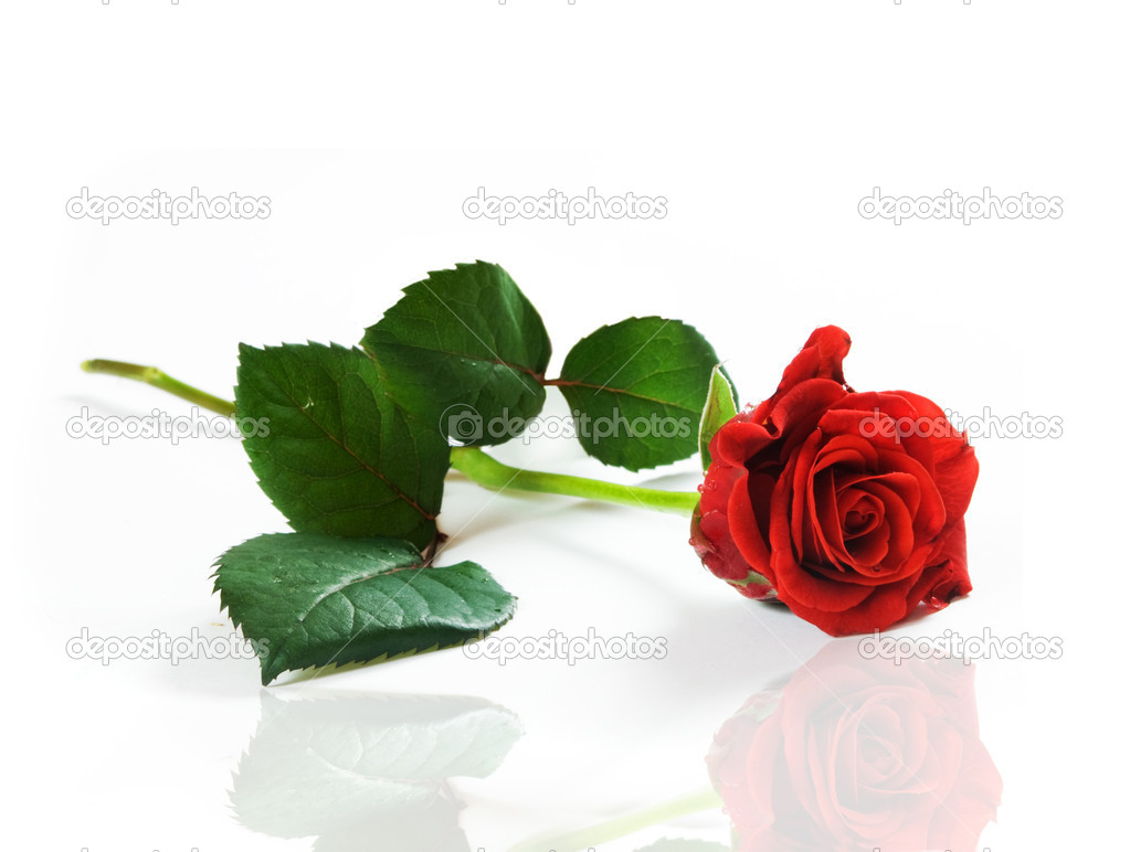 Red fresh rose on white background. Space for your text  — Stock Photo #2029039