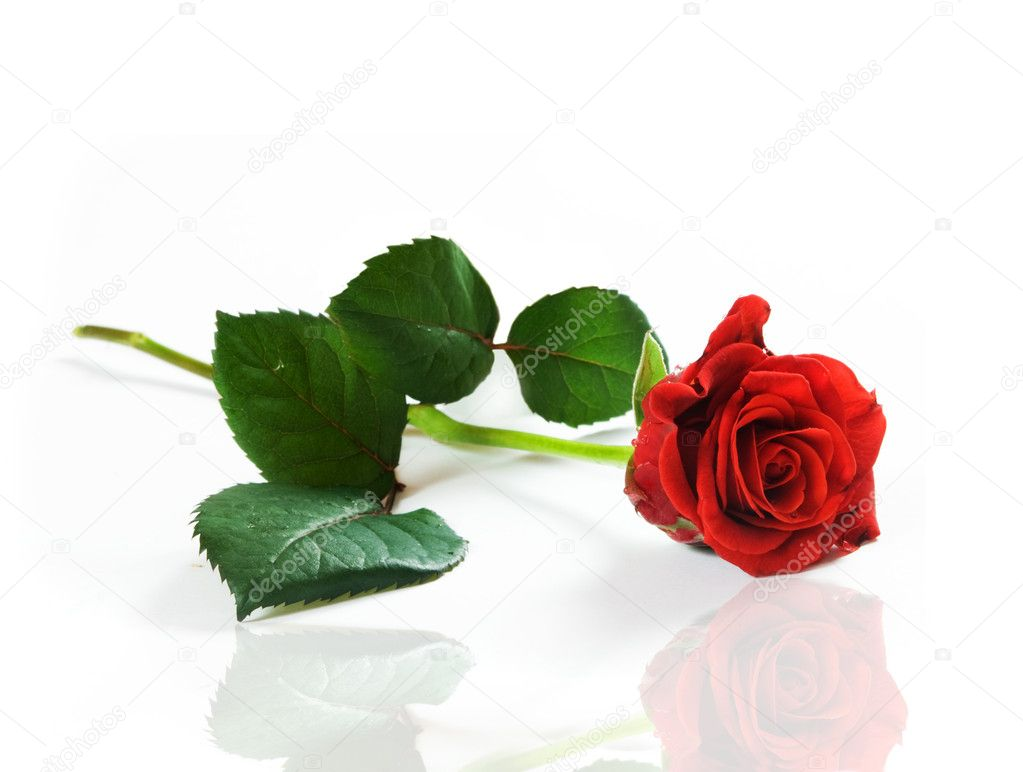 Red fresh rose on white background. Space for your text  — Lizenzfreies Foto #2029039