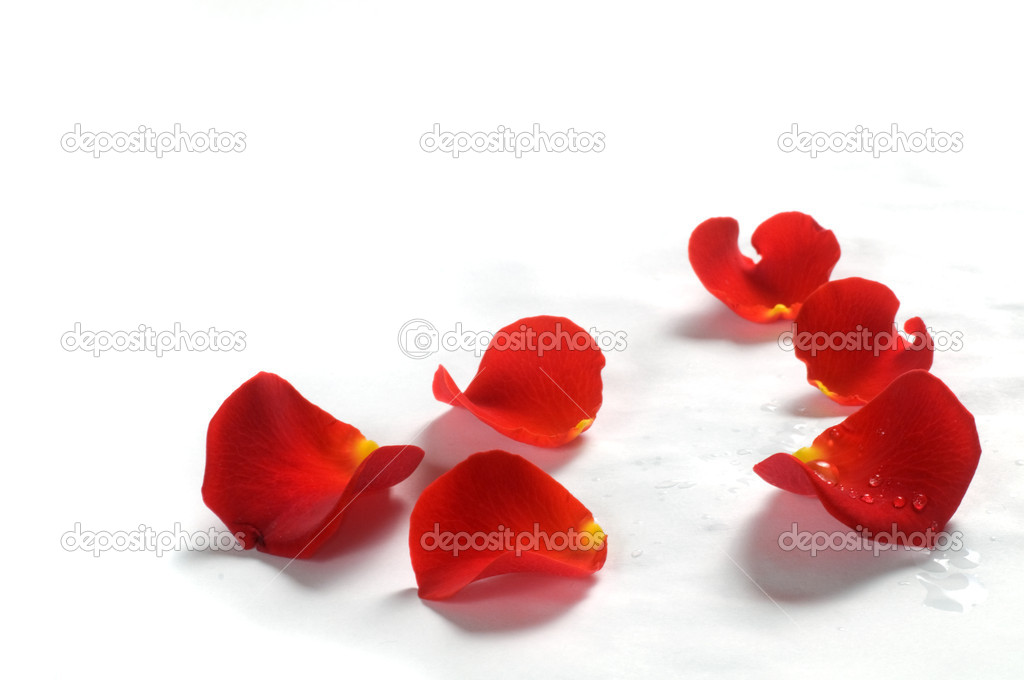 Fresh rose petals with water droplets on white background  Foto de Stock   #2029430